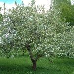 Ждать ли фруктов этим летом и как спасти деревья?