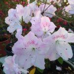 У Криворізькому ботсаду розпочався сезон цвітіння азалій