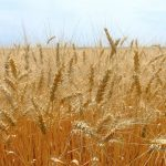 В області зібрали 2,2 млн тонн зерна