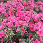 У Кривому Розі розквітли азалії