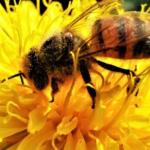 Мешканцям області нагадали, що робити при укусі бджоли
